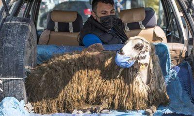 Otomobilin bagajında taşınan maskeli koyun gülümsetti