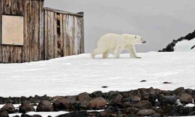 Danimarka'dan tepki çeken karar: Kutup ayılarını vurabiliriz