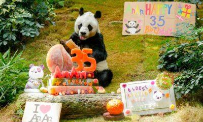 Dünyanın yaşayan en yaşlı erkek pandası 35. doğum gününü kutladı