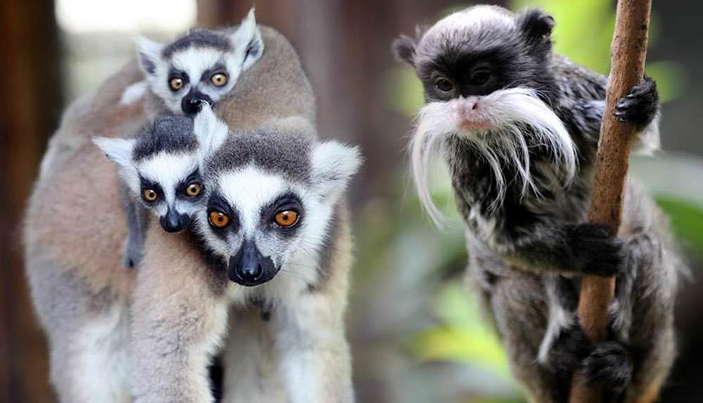 Fransa'da hayvanat bahçesinden 10 lemur ve 2 tamarin maymunu çalındı