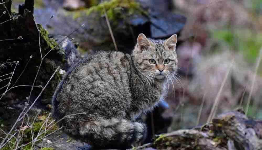 Yaban kedileri Hollanda'ya dönüş yaptı