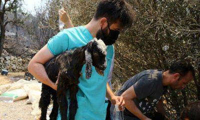 Yangından etkilenen hayvanların imdadına gönüllü veteriner hekimler koşuyor