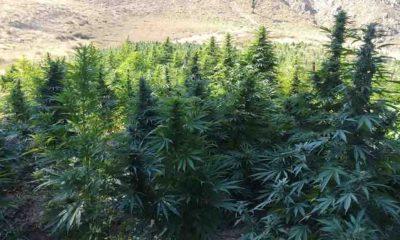 Yeniden Refah Partisi önerdi: Yanan orman alanlarına geçici olarak kenevir dikilebilir!