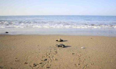 Caretta caretta yavruları zorlu 'yaşam yolculuğu'yla denize ulaşıyor