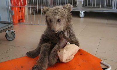 Sivas'ta iki bacağı kırık halde bulunan ayı yavrusu Elazığ'da tedavi altına alındı
