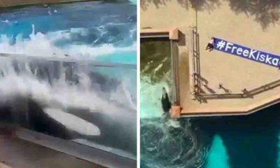 Dünyanın en ünlü balinası Kiska intihar teşebbüsünde bulundu