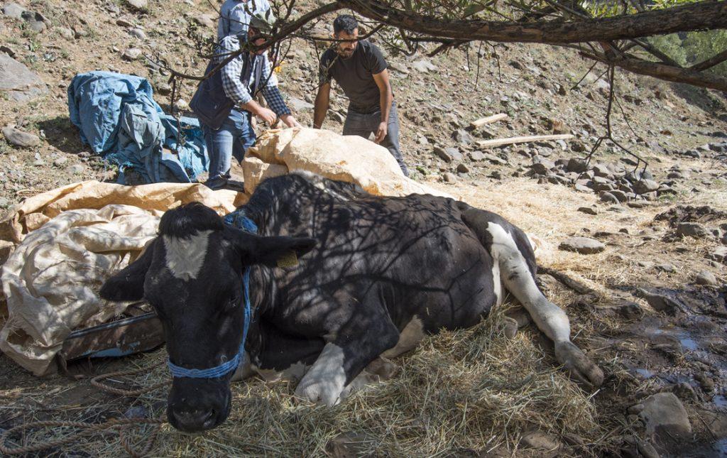 Ayağı kırılan gebe ineği kurtarmak için 3 kilometrelik yol açıldı