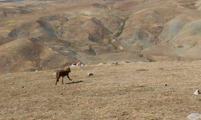 Ağrı'da yavruyken dağda bulunup 5 ay beslenen 4 kurt doğaya salındı