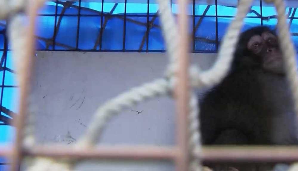 Tokyo'daki havalimanına giren maymun 5 saat sonra yakalandı