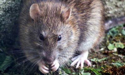 Birleşik Krallık kedi büyüklüğündeki sıçan istilasıyla karşı karşıya