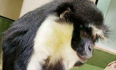 Koruma altındaki 'dünyanın en yaşlı Diana maymunu' öldü