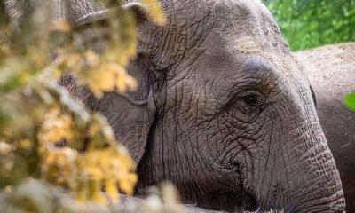 Mozambik'te fillerden evrimsel tepki: Dişi fillerin çoğu dişsiz doğuyor!
