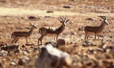 Şanlıurfa'da doğaya 30 ceylan bırakıldı